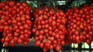 """Quel """"grappolo"""" rosso che dal Vesuvio arriva in ogni parte del mondo: luoghi e leggende del pomodoro del """"piennolo"""""""