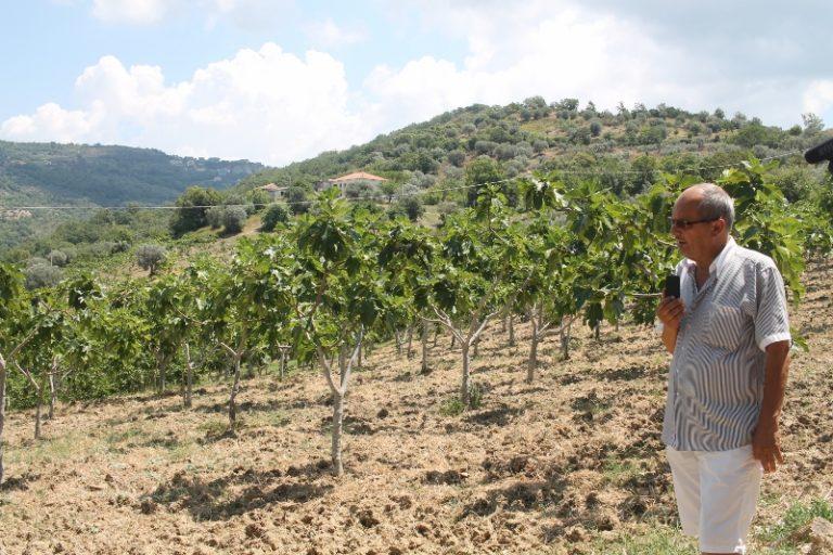 Il fico bianco del Cilento dop e biologico dell'Azienda agricola di Paris Ruocco