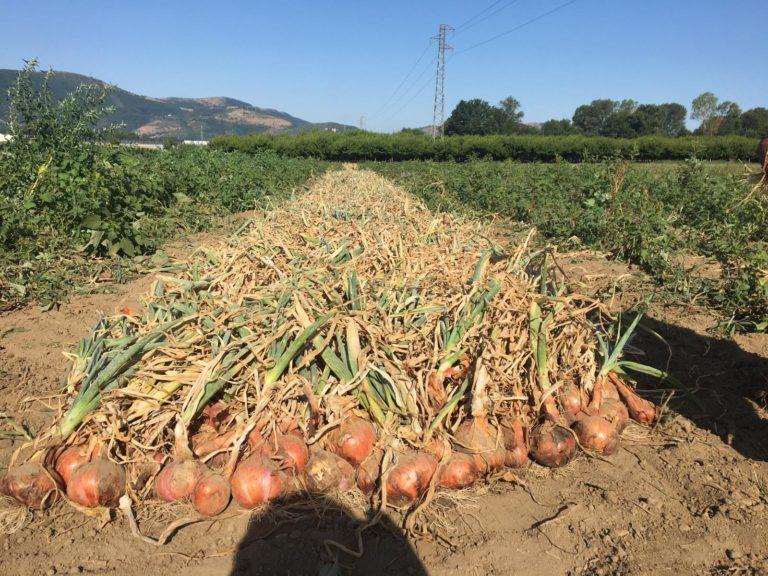La cipolla di Airola. Ovvero nascita di un nuovo presidio Slow Food in Valle Caudina